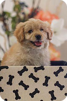 Cockapoo/Poodle (Miniature) Mix Puppy for adoption in Auburn, California - DJ