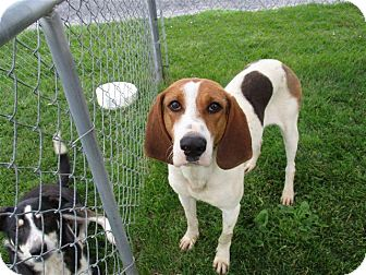 Treeing Walker Coonhound Dog for adoption in Liberty Center, Ohio - Bluebell