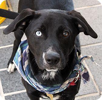 Border Collie/Labrador Retriever Mix Dog for adoption in Richmond, Virginia - Bowie