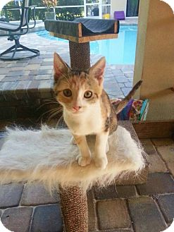 Domestic Shorthair Cat for adoption in Riverview, Florida - Emily