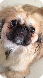 Pekingese Dog for adoption in Ft. Lauderdale, Florida - Sydney