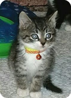 Domestic Mediumhair Kitten for adoption in Washington, North Carolina - Jinxy