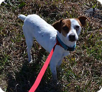 Jack Russell Terrier Dog for adoption in Austin, Texas - Ahba in Cleburne, Texas