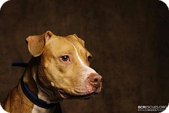 Beagle/American Pit Bull Terrier Mix Dog for adoption in Cliffside Park, New Jersey - HONEY BEE