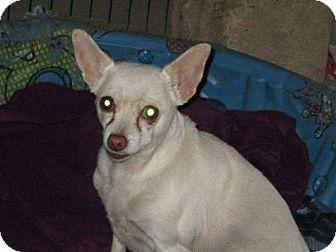 Chihuahua Mix Dog for adoption in Liberty Center, Ohio - Sugar