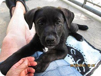 Labrador Retriever/German Shepherd Dog Mix Puppy for adoption in Portland, Maine - Gage