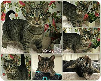 Domestic Shorthair Cat for adoption in Joliet, Illinois - Anna May
