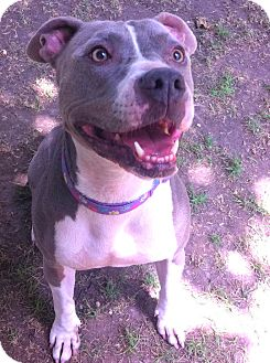 American Staffordshire Terrier Mix Dog for adoption in Ojai, California - PENNY