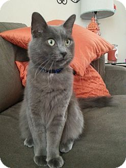 Domestic Mediumhair Kitten for adoption in Round Rock, Texas - Smokey