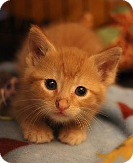 Domestic Shorthair Kitten for adoption in Carlisle, Pennsylvania - Pippa