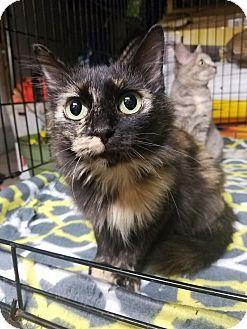 Domestic Mediumhair Cat for adoption in Huntington, West Virginia - Denni