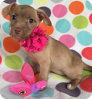 Chihuahua/Pekingese Mix Puppy for adoption in North Brunswick, New Jersey - Stella