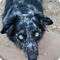 Adopt A Pet :: Bogle - Washington, DC
