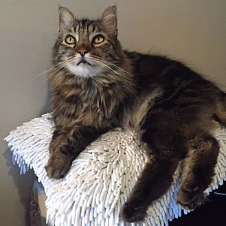 Maine Coon Cat for adoption in Oakland, California - Bentley [CP]