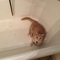 American Shorthair Cat for adoption in Athens, Alabama - Kitt