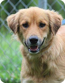 Golden Retriever Mix Dog for adoption in Washington, D.C. - Snapple (Needs Foster/Has Application)