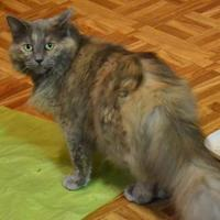 Domestic Mediumhair/Domestic Shorthair Mix Cat for adoption in Independence, Missouri - Daisy May