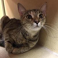 Adopt A Pet :: HELLO KITTY - Lawton, OK