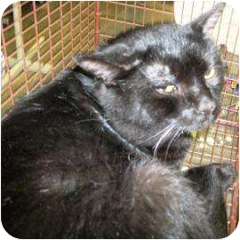 Domestic Shorthair Cat for adoption in Rapid City, South Dakota - Trolley