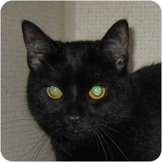 Domestic Shorthair Cat for adoption in Hamilton, New Jersey - NOEL