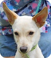 Whippet/Terrier (Unknown Type, Small) Mix Puppy for adoption in Kingwood, Texas - Whisper