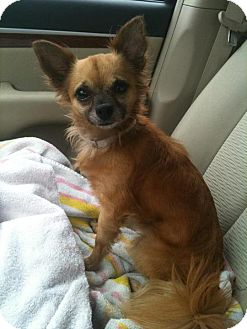 Chihuahua Mix Dog for adoption in Davie, Florida - Max