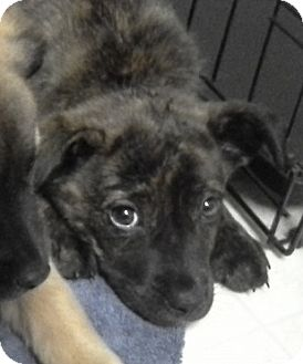 Shepherd (Unknown Type) Mix Puppy for adoption in Gainesville, Florida - Kalisee