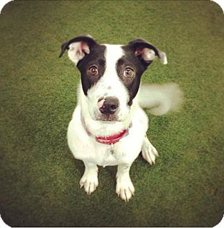 Hound (Unknown Type)/English Pointer Mix Puppy for adoption in Jersey City, New Jersey - Hugo Cabret