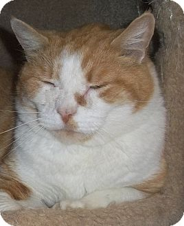 Domestic Shorthair Cat for adoption in Witter, Arkansas - Max (de-clawed in front)