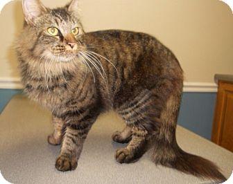Maine Coon Cat for adoption in Monroe, Georgia - Hamilton