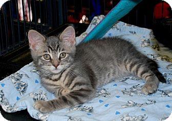 Domestic Shorthair Kitten for adoption in Sunderland, Ontario - Kaydon