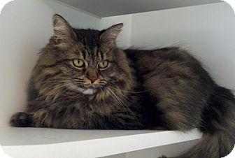Domestic Longhair Cat for adoption in Bellingham, Washington - Kyesha