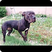 Adopt A Pet :: Zepplin. COURTESY POST - Phoenix, AZ