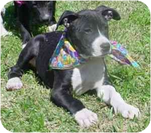German Shepherd Dog/American Staffordshire Terrier Mix Puppy for adoption in Carrollton, Texas - Blaze