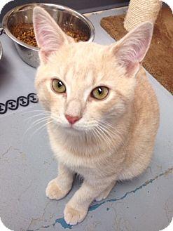 Domestic Shorthair Cat for adoption in San Leon, Texas - Moe