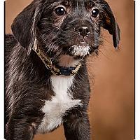 Adopt A Pet :: Chad - Owensboro, KY