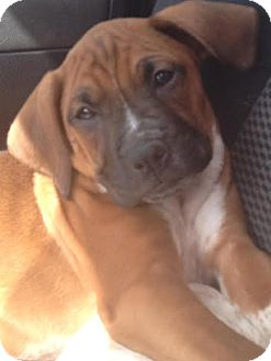 Boxer Mix Puppy for adoption in PLAINFIELD, Indiana - Jasper