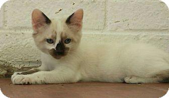 Siamese Kitten for adoption in Savannah, Georgia - Otto