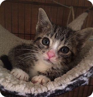 American Shorthair Kitten for adoption in Forest Hills, New York - Frenchie