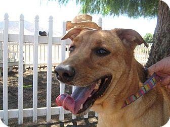 German Shepherd Dog/Golden Retriever Mix Dog for adoption in Winchester, California - Koda
