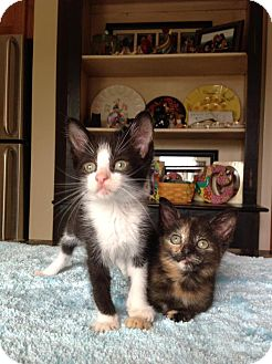 Domestic Shorthair Kitten for adoption in Wayne, New Jersey - Emerson