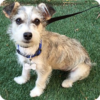 Terrier (Unknown Type, Small)/Schnauzer (Miniature) Mix Dog for adoption in Redondo Beach, California - Pinky
