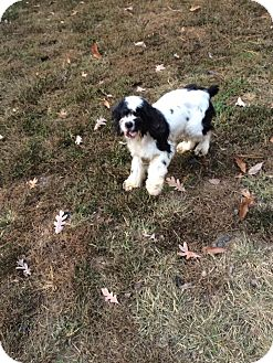 Cocker Spaniel Dog for adoption in Freehold, New Jersey - Sadie