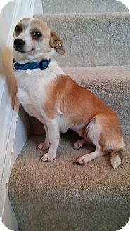 Chihuahua/Dachshund Mix Dog for adoption in Lake Orion, Michigan - Sadie