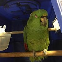 Adopt A Pet :: Cuka Bird - YNA - Blairstown, NJ