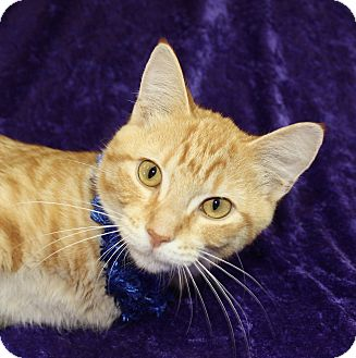 Domestic Shorthair Cat for adoption in Jackson, Michigan - Marigold