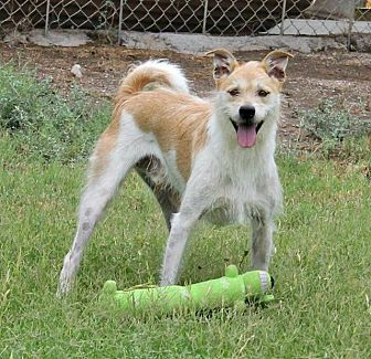 Terrier (Unknown Type, Small) Dog for adoption in Tucson, Arizona - Scooter