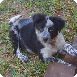 Blue Heeler/Great Pyrenees Mix Puppy for adoption in Smithtown, New York - Kira