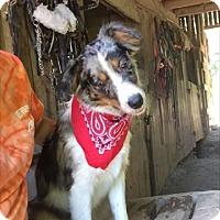 Adopt A Pet :: Cowgirl - Hazard, KY
