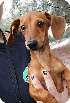 Dachshund Mix Dog for adoption in Gainesville, Florida - Aria
